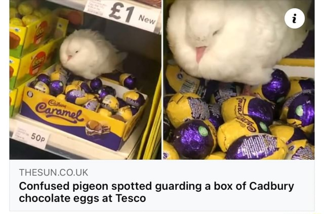 THESUN.CO.UK Confused pigeon spotted guarding a box of Cadbury chocolate eggs at Tesco memes