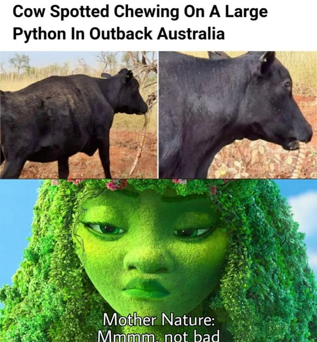 Cow Spotted Chewing On A Large Python In Outback Australia Mother Nature NArmmimnm not bad meme