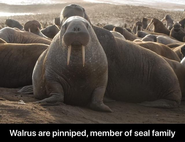 Walrus are pinniped, member of seal family Walrus are pinniped, member of seal family meme