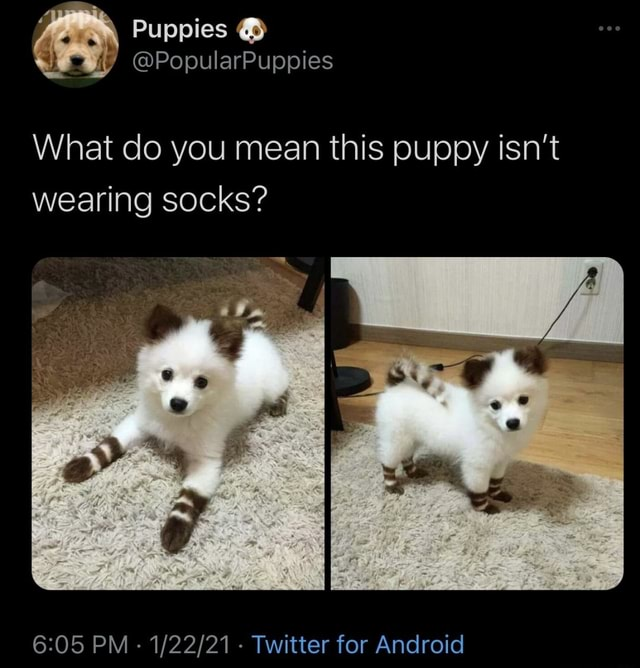 Puppies PopularPuppies What do you mean this puppy isn't wearing socks PM   Twitter for Android memes
