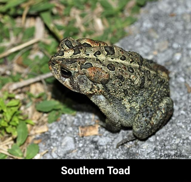 And  Gary Naks. Southern Toad  Southern Toad meme