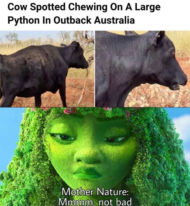Cow Spotted Chewing On A Large Python In Outback Australia Mother Nature Mimimm. not bad meme