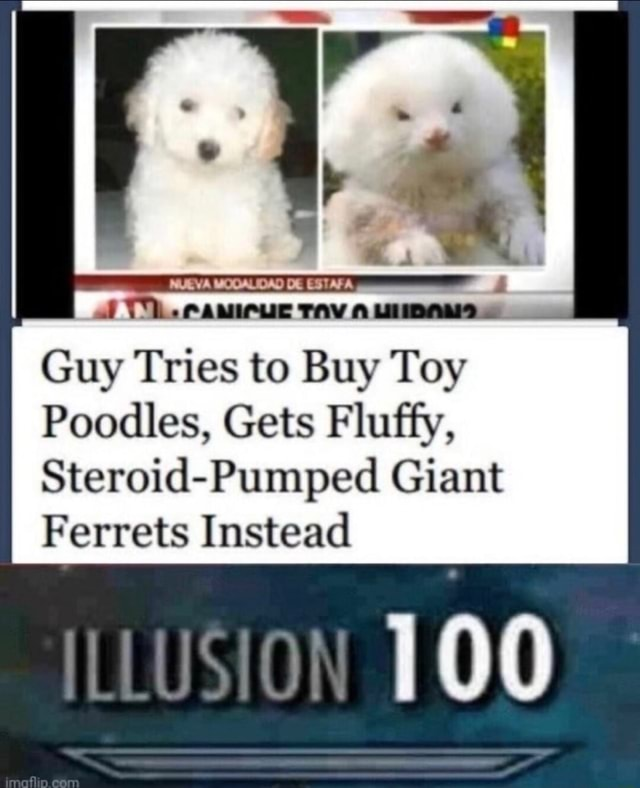 Af TL. Tv Guy Tries to Buy Toy Poodles, Gets Fluffy, Steroid Pumped Giant Ferrets Instead 100 meme
