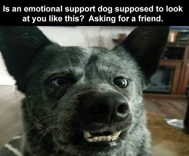 Is an emotional support dog supposed to look at you like this Asking for a friend. in memes