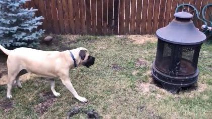 Dogs play with rabbit in their yard