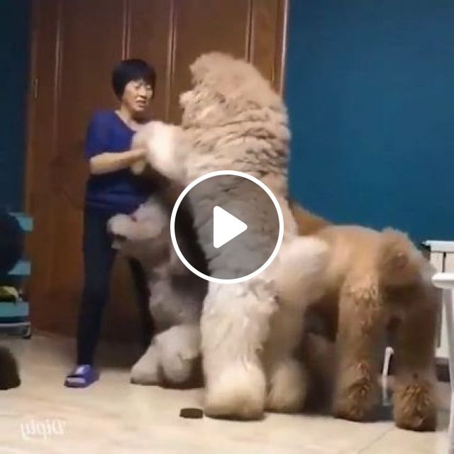 Raise Your Hand If You Like These Giant Fluffy Dogs. - Video & GIFs | Animals & Pets, giant dogs, cute dogs, kitchen equipment, cute girls, clothes fashion