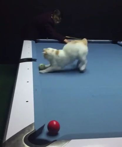 Cats are very good at snooker - Funny Videos - funnylax.com - animals & pets,cats,adorable,sports,snooker tables