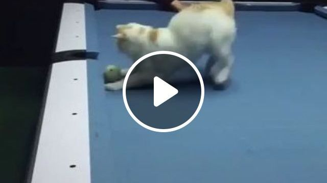Cats Are Very Good At Snooker - Video & GIFs | animals & pets, cats, adorable, sports, snooker tables