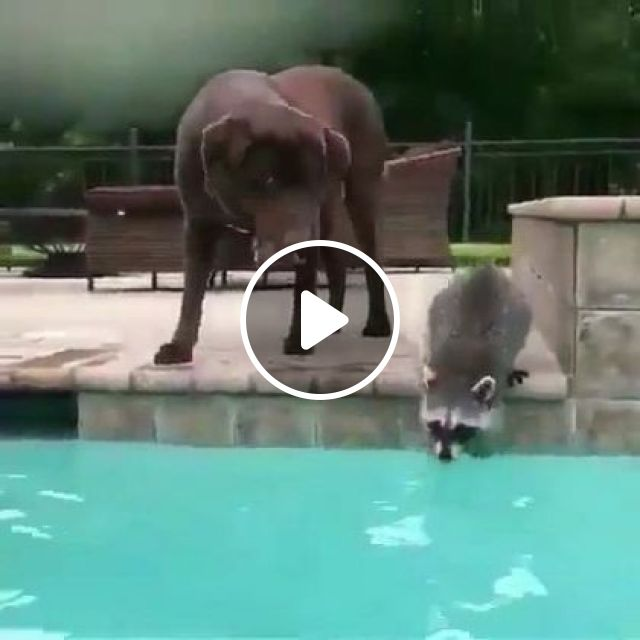 Just A Raccoon Riding A Dog In A Swimming Pool - Video & GIFs | Animals & Pets, smart dogs, cute pandas, swimming pools, luxury resorts, Norway travel