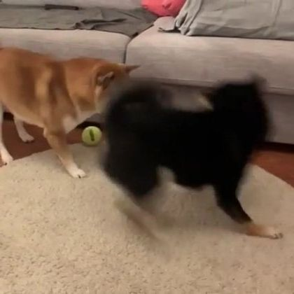Two dogs playing in living room are very happy