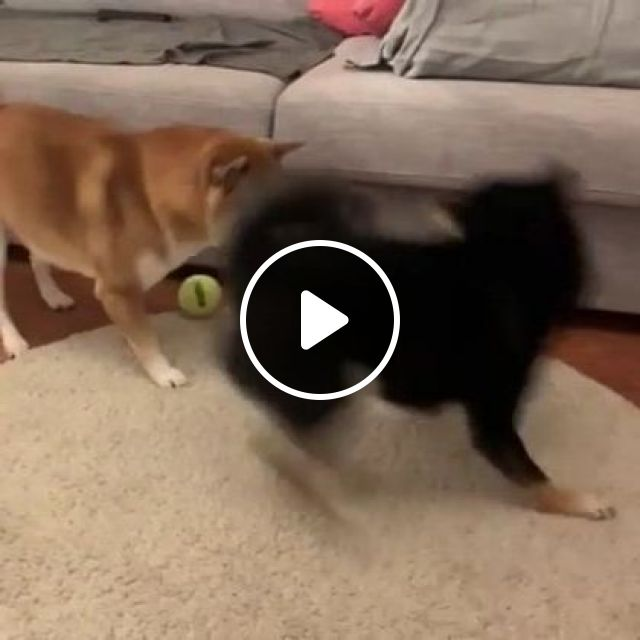 Two Dogs Playing In Living Room Are Very Happy - Video & GIFs | Animals & Pets, cute dogs, dog breeds, living room furniture
