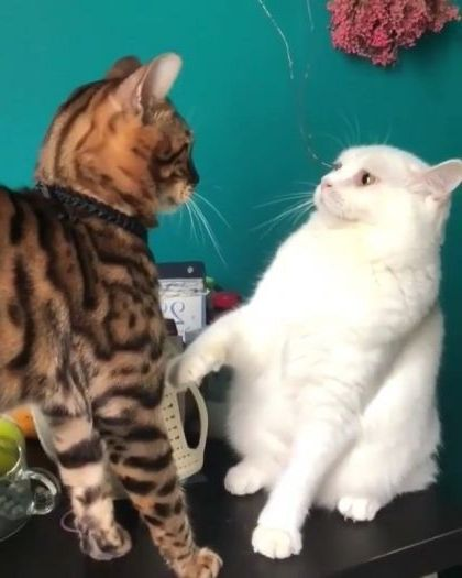 White cats are very brave - Video & GIFs   Animals & Pets, white cats, cat breeds, brave cats, funny cats