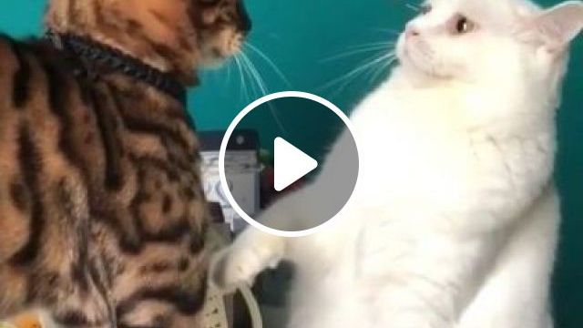 White Cats Are Very Brave - Video & GIFs | Animals & Pets, white cats, cat breeds, brave cats, funny cats