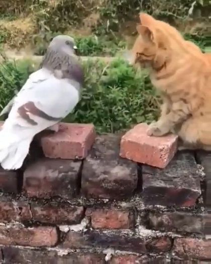 Cat and pigeon are friends