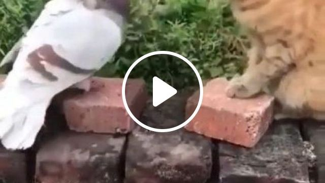 Cat And Pigeon Are Friends - Video & GIFs | Animals & Pets, yellow cats, cute cats, smart pigeons, friendly animals