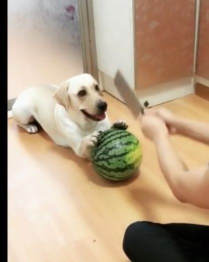 dog helps a man make a fruit smoothie in  kitchen - Funny Videos - funnylax.com - Animals & Pets, dogs, dog breeds, smoothies, good for health, man, fruit, kitchen, kitchen equipment