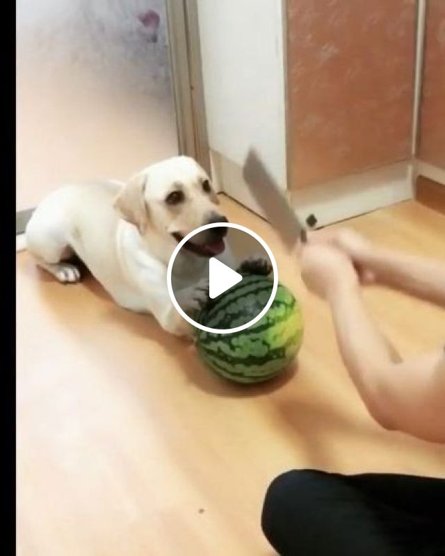 Dog Helps A Man Make A Fruit Smoothie In Kitchen - Video & GIFs   Animals & Pets, dogs, dog breeds, smoothies, good for health, man, fruit, kitchen, kitchen equipment