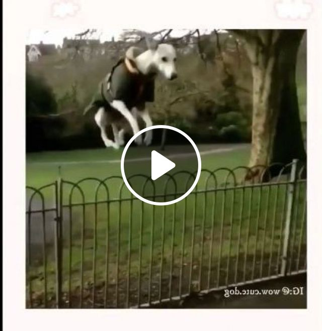 Dog Can Jump Over A High Metal Fence - Video & GIFs | Animals & Pets, dogs, dog breeds, metal fences