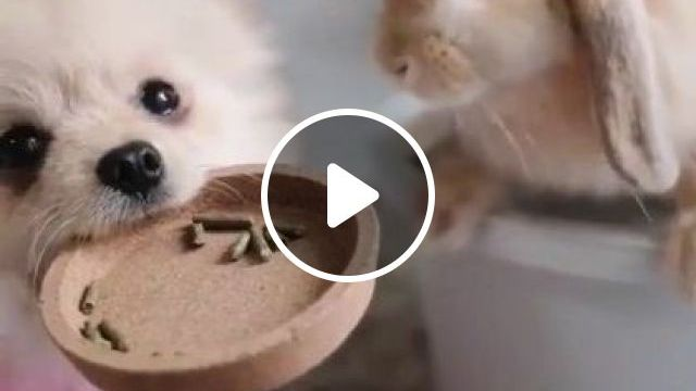 Dog Is Helping Rabbit Eat - Video & GIFs | Animals & Pets, smart dogs, dog breeds, cute rabbits, luxurious living rooms