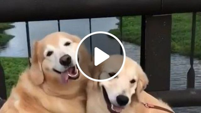 Dogs Travel And Are Photographed Everywhere - Video & GIFs | Animals & Pets, yellow fur dogs, cute dogs, dog breeds, photography, high definition, canada travel