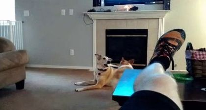 Dogs play with toys in living room