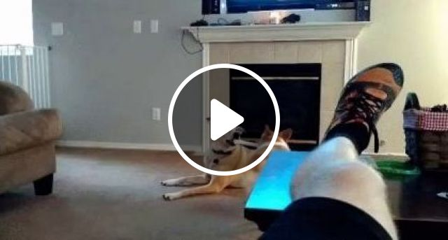Dogs Play With Toys In Living Room - Video & GIFs | Animals & Pets, cute dogs, dog breeds, toys premium, living room furniture