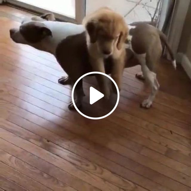Dogs Are Playing In Living Room - Video & GIFs   Animals & Pets, smart dogs, cute dogs, glass doors, bedroom furniture