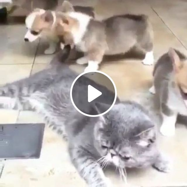 Cat Doesn't Want Puppies To Bother Him In Apartment - Video & GIFs   Animals & Pets, cats, puppies, dog breeds, apartments