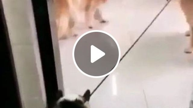 That Dog Getting Pushed By Thing Made Me Smile Most - Video & GIFs | Animals & Pets, yellow fur dogs, dog breeds, cute dogs, luxury apartments