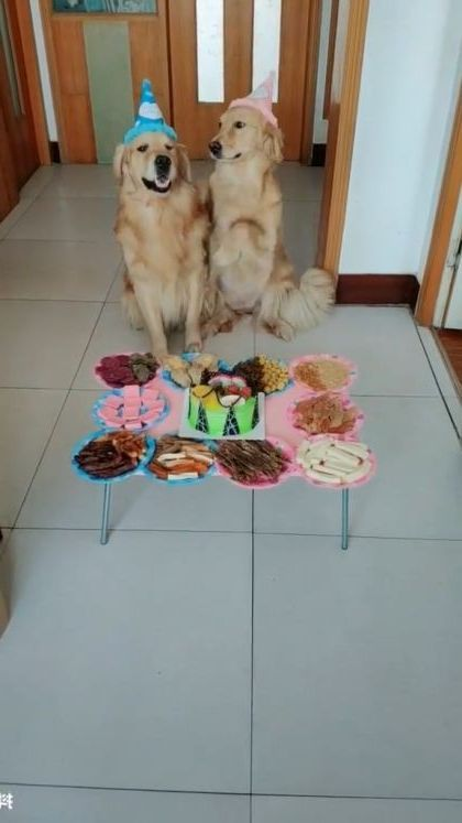 Happy birthday for two dogs in a day - Video & GIFs | Animals & Pets, yellow fur dogs, birthday cakes, dog care, funny dogs