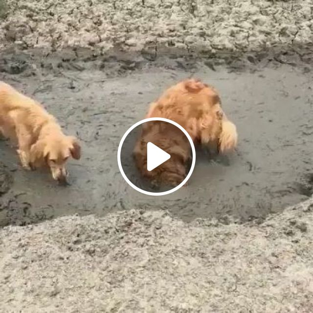 Get A Dog, They Said. It Will Be Fun, They Said.. - Video & GIFs | Animals & Pets, yellow fur dogs, mud baths, health protection, Asian tourism