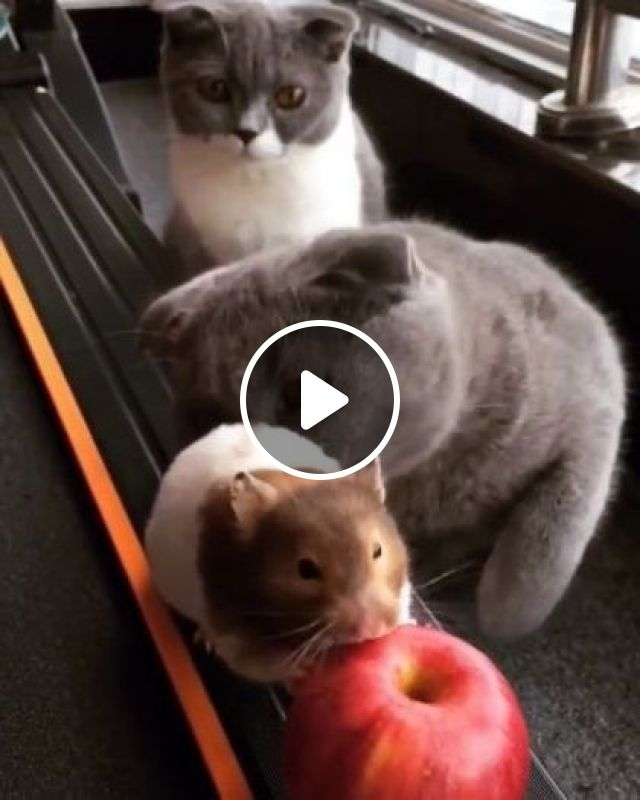 Cats Like To Play With Mice - Video & GIFs | Animals & Pets, cute cats, friendly cats, funny animals