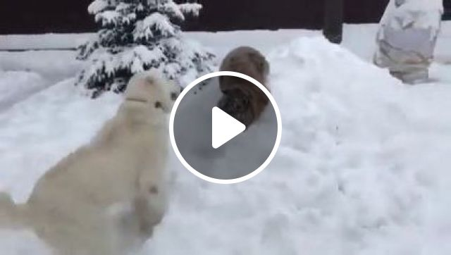 Dog And Tiger Are Friends - Video & GIFs | Animals & Pets, smart dogs, dog breeds, gentle tiger, animal care, friendly animals