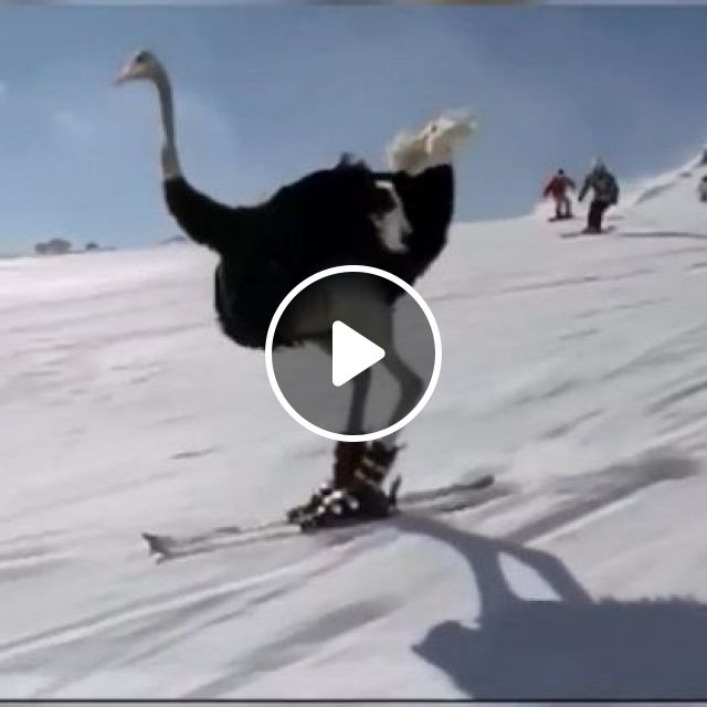 Ostrich Can Also Ski Like Humans - Video & GIFs | Animals & Pets, French winter, smart suit, mountain alpine, ski tools, French travel