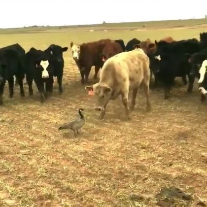 Ducks and cows are enemies or you on the farm - Funny Videos - funnylax.com - Animals & Pets, smart cows, cute ducks, funny animals, cattle farms, export cows