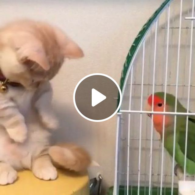 This Kitten Isn't Too Sure, Think It's Safer To Play With Tail. - Video & GIFs | Animals & Pets, smart parrots, yellow cats, cute cats, funny animals