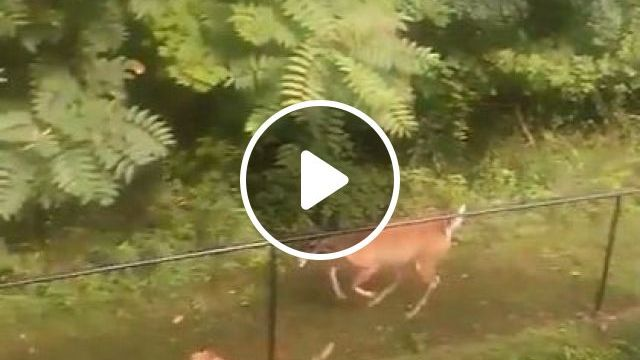 Just A Deer And Dog Having Time Of Their Lives Together - Video & GIFs   Animals & Pets, smart dogs, cute dogs, dog breeds, friendly animals