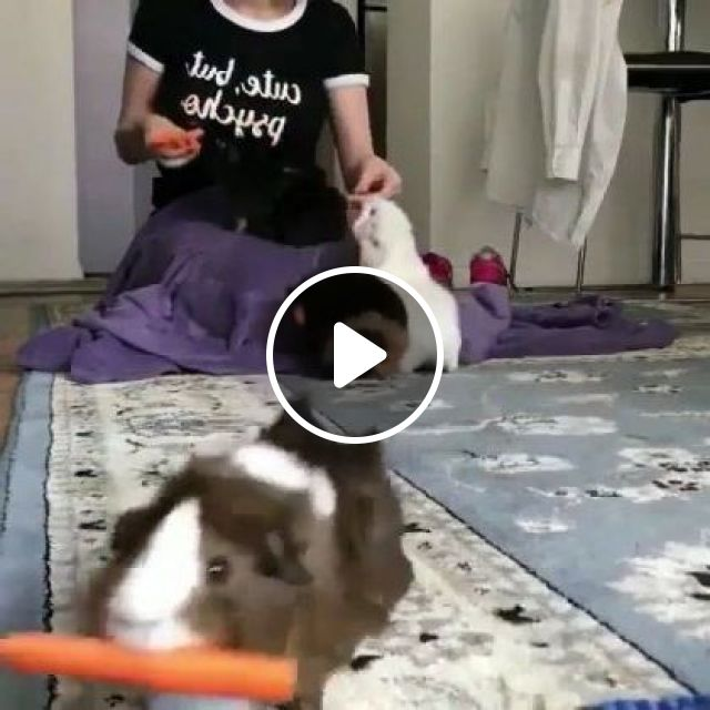 Rabbit Likes Carrots In Living Room - Video & GIFs | Animals & Pets, cute rabbits, animal food, Japanese carrots, living room furniture