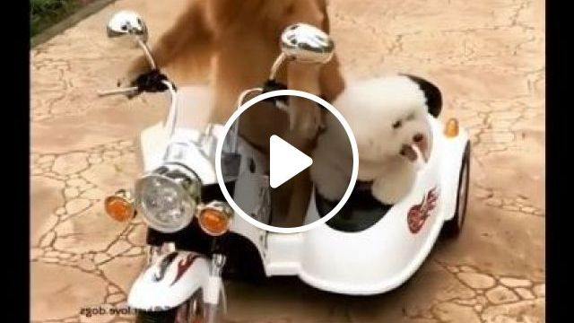 Dog Carries Other Dogs With A Toy Car On The Road - Video & GIFs   Animals & Pets, dog, adorable, pet care, toy car