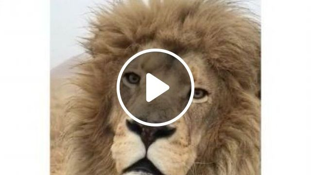 Lion Is Thinking Something In Desert - Video & GIFs | Animals & Pets, cute lions, wild animals, African travel