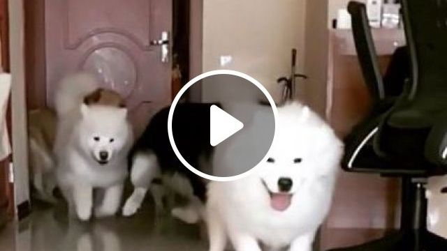 Girl Called Dogs Into Living Room For Lunch - Video & GIFs | Animals & Pets, dogs, dogs, dogs breeds, living room, luxurious furniture, lunch