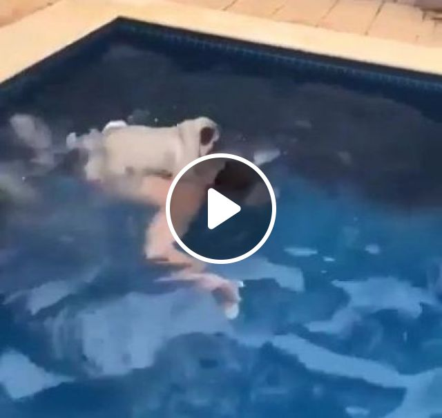 Dog Practices Swimming With A Man In Resort - Video & GIFs | Animals & Pets, smart dogs, dog breeds, cute puppies, swimming pools, healthy men, luxury resorts, comfort hotels