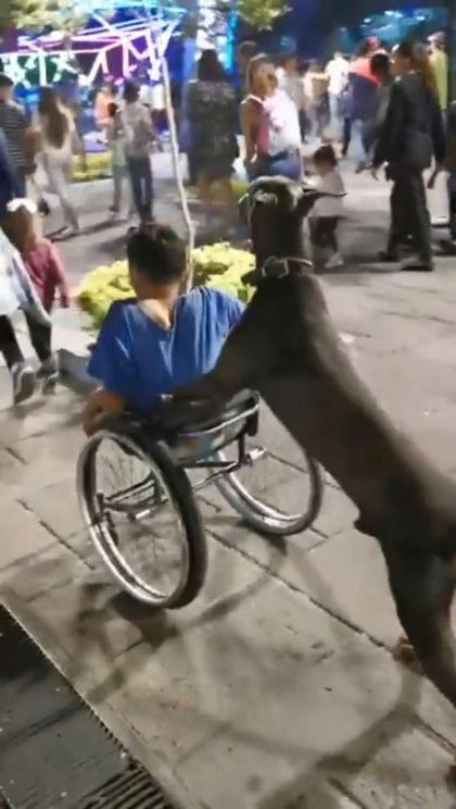 Smart dog helps wheelchair with child on the road