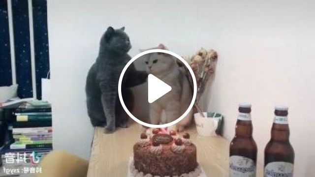 Cats are celebrated birthday in  living room - Funny Videos - funnylax.com - Animals & Pets, cute cats, cat breeds, birthday organization, interior living room, luxury apartments