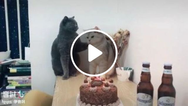 Cats Are Celebrated Birthday In Living Room - Video & GIFs | Animals & Pets, cute cats, cat breeds, birthday organization, interior living room, luxury apartments