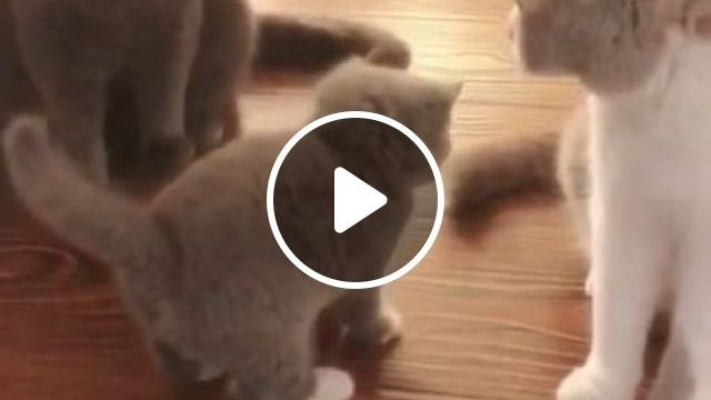 Why?? Is Mother Cat Acting Like That, Father Cat - Video & GIFs | animals & pets, black cats, smart cats, wooden floors