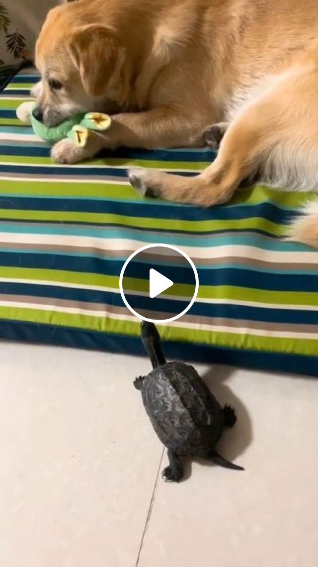 Gaah She's Trying So Hard - Video & GIFs | animals & pets, cute dogs, caring animals, dog breeds
