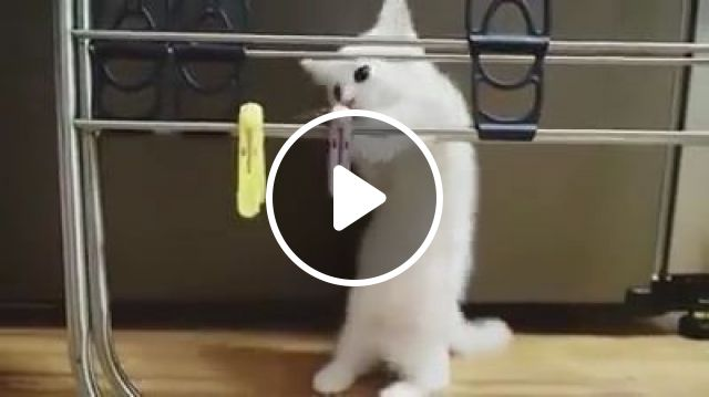 Cat And Clothesline Tool - Video & GIFs   animals & pets, cute cats, white kittens