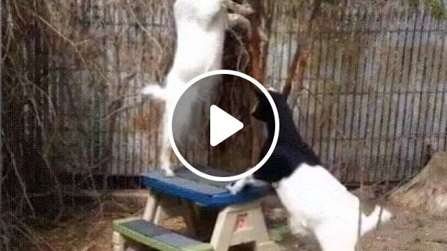 Goat Has Experienced A Sudden Failure - Video & GIFs | animals & pets, cute goats, funny animals