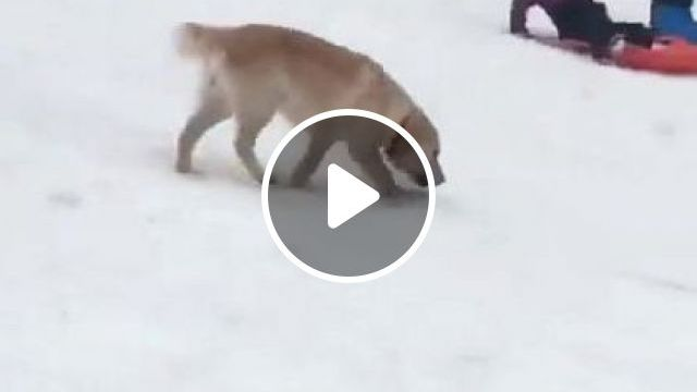 This Dog Will Win Winter Olympics - Video & GIFs   animals & pets, friendly animals, smart dogs